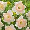 Narcissus 'British Gamble'