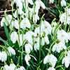 Early Flowering Bulb Collection