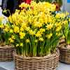Naturalising Spring Flowering Bulb Collection