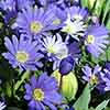 Blooming Fast Drop In Bulb Planter Tulip and Anemone Kit