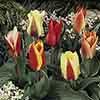 Tulips Miniature Mixed