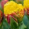 Tulip Banana Cream