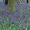 British Native Bluebells In the Green