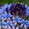 Scilla peruviana (Caribbean Lily)