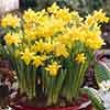 Daffodil Tête-à-Tête