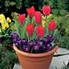 Blooming Fast Drop In Bulb Planter Tulip and Crocus Kit