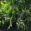 Hardy Fan Palm Trachycarpus fortunei