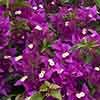 Bougainvillea Pink Pillar