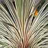 Cabbage Palm Cordyline australis 'Torbay Dazzler'