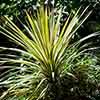 Cabbage Palm Cordyline australis Torbay Dazzler