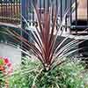 Cordyline aus. Burgundy Spire 17cm 60-70cm