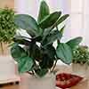 Rubber Plant Ficus elastica 'Robusta'