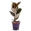 Rubber Plant Ficus elastica Robusta