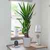 Yucca elephantipes Houseplant 2 Stem in 17cm Pot