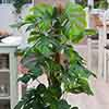 Philodendron Minima mosspole 19cm