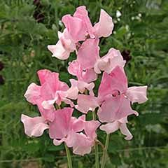 Sweet Pea 'Izzie Rose'