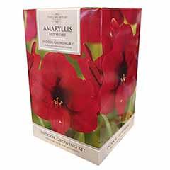 Amaryllis Gift Pack – 'Red Velvet'