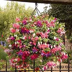American Giant Double Flowered Fuchsias