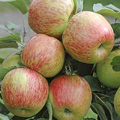 2 X Apple 'Braeburn' Trees