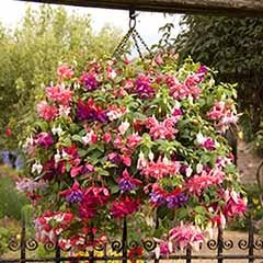Jumbo Flowered Trailing Fuchsia
