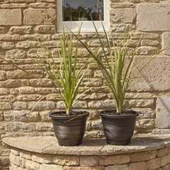 Pair of Cordylines with a Pair of 13' Gold Groove Planters
