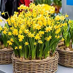 Promo Pack of 100 x Narcissus Tete a Tete bulbs