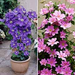 Pair of Boulevard Patio Clematis with Blue Planters