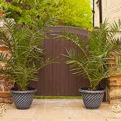 Pair of Large Phoenix Palm Trees with Pinecone Planters