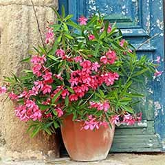 Pair of Pink Oleander Bushes with Planters