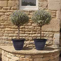 Pair of Lavender Standards with Laurel Planters