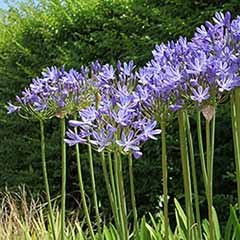 Pair of Agapanthus 'Dr Brouwer' Plants