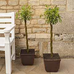 Pair of Plaited Willows 75cm Tall in Decorative Pots