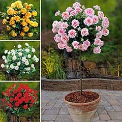 Patio Standard Rose Collection with Decorative Planters