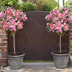 Pair of Pink Oleander Standards 80cm tall with a pair of Wheat Bundle Planters
