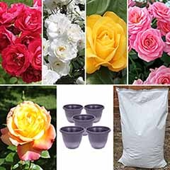 5 Garden Glamour Roses, 5 'Wheat' 11in Planters & 40L Compost