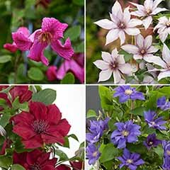 Patio Clematis Collection x 4, BOULEVARD(R) Series