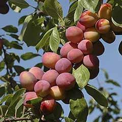 'Victoria' Plum Tree