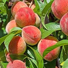 Peach 'Redhaven' Tree