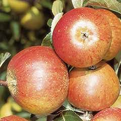 Apple 'Cox's Orange Pippin' Tree