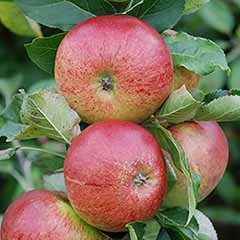 Apple 'Gala' Tree