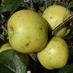 Apple 'Greensleeves'  Tree