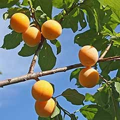 Plum 'Oullins Golden Gage' Tree