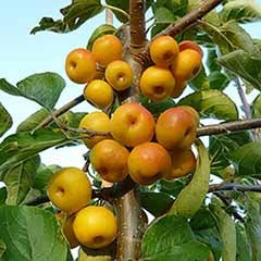 Crab Apple 'Golden Hornet'