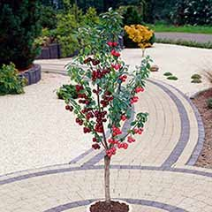 Duo Fruit tree - Cherry Stella & Sunburst