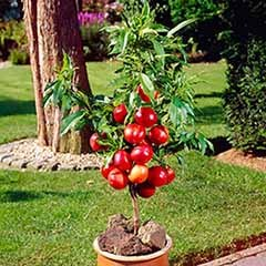 Patio Nectarine Garden Beauty Tree