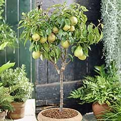 Patio Pear 'Garden Pearl' tree