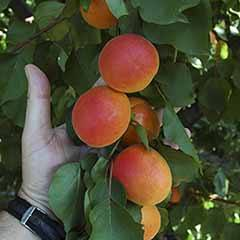 Apricot 'Tomcot' tree bare root