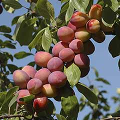 The Nation's Favourite Plum 'Victoria' - now in super-dwarf patio form!