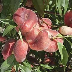'Donut' Flat Peach (Prunus persica platycarpa). 1.4m bare root tree.