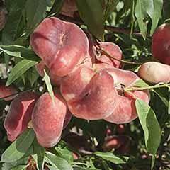 'Donut' Flat Peach (Prunus persica platycarpa). 5L